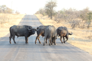 A herd of buffaloes