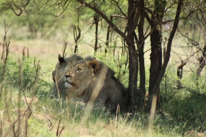 Two male lions in Pilanesberg
