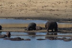 width=300 height=200></a><p id=caption-attachment-11239 class=wp-caption-text>Hippos in Kruger National Park</p></div><p></p><h3>Day 3: A day in Hazyview</h3><p></p><p>On our third day we had some time to relax and do an extra activity. After breakfast, we decided to visit the monkey and bird sanctuary. We found many different and exotic species. One of us were even lucky to hold a lemur. It was very nice!</p><p></p><p>We head to a nice Italian restaurant for a delicious pizza and a refreshing drink and made our way to Pabeni Gate for an afternoon game drive in the Kruger National Park.</p><p></p><p>After a relaxing dinner and some post dinner drinks at the boma, we make our way to bed as tomorrow we start our day early, taking the long road to Botswana.</p><p></p><div id=attachment_11236 style=