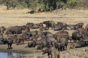 width=300 height=200></a><p id=caption-attachment-11240 class=wp-caption-text>Herd of buffalos</p></div><div id=attachment_11239 style=
