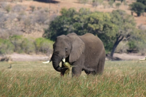 width=300 height=200></a><p id=caption-attachment-11250 class=wp-caption-text>Elephant next to Chobe River</p></div><div id=attachment_11251 style=