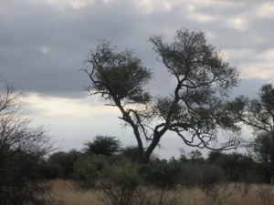 another-leopard-in-tree-kruger