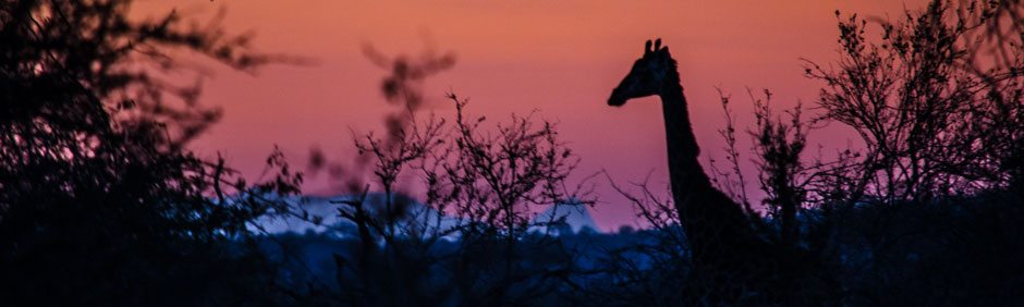 A calm and soothing giraffe during the Sunset Game Drive in Balule Private Game Reserve in South Africa