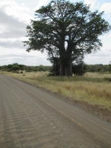 Boabab tree in Kruger Park