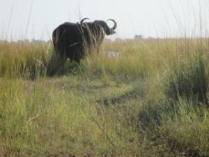 buffalo-chobe-river