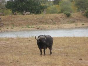 buffalo-waterhole-kruger