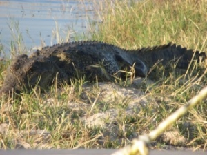crocodile-banks-chobe-river