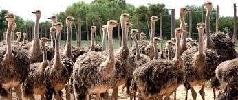 oudtshoorn ostriches