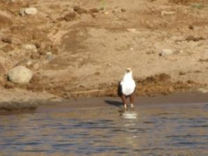 eagle-chobe-river
