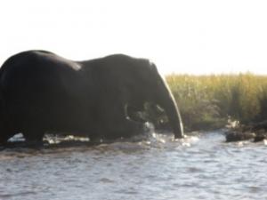 elephant-exiting-chobe-river