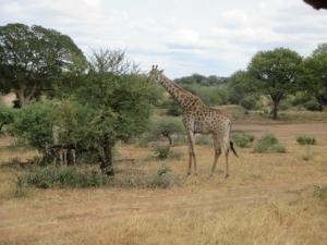 Giraffe eating leaves in Kruger Park