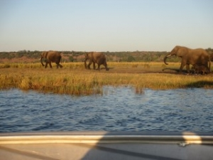 group-elephants-chobe