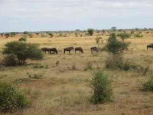 Herd of widelbeest