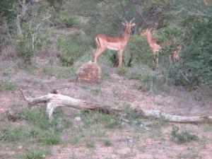 impala-balule-kruger