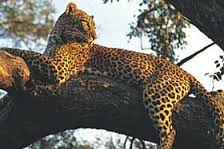 Close up of leopard in tree in Kruger