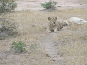 lion-king-queen-knp