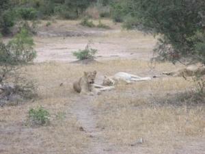 lions-in-kruger-2