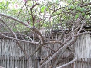 Monkeys at Tremisana Lodge