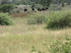 Ostriches in Kruger Park