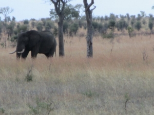 Elephant sighting in Kruger