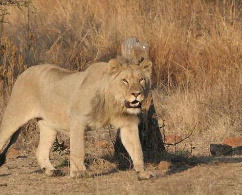 Lion Pilanesberg