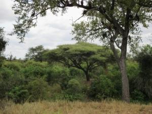 Vegetation in Kruger Park