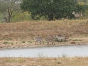 Waterbuck at dam in Kruger