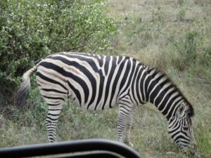 A zebra in Kruger Park