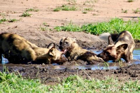 Manyeleti wild dogs