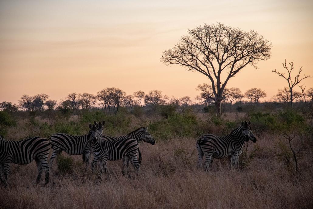 Manyeleti Zebras