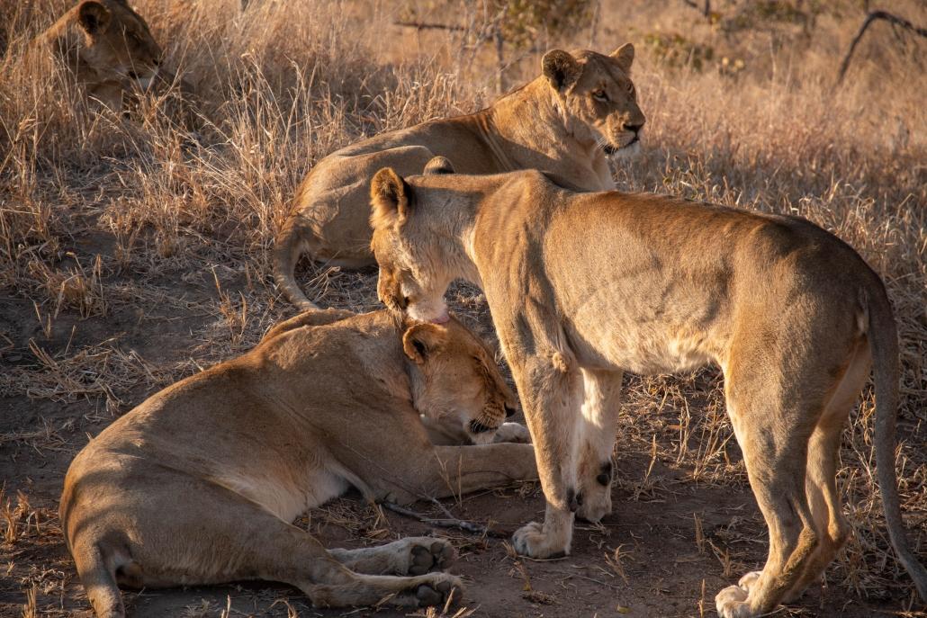 manyeleti lion