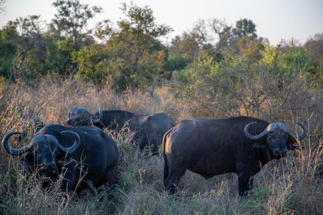 mayeleti buffalo