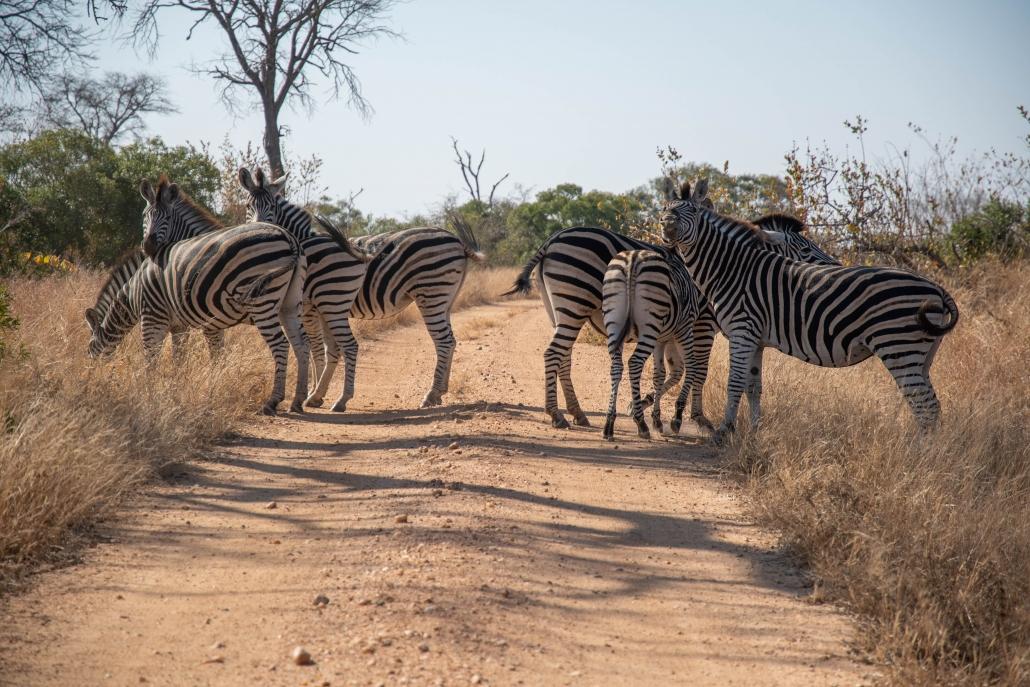manyeleti zebra