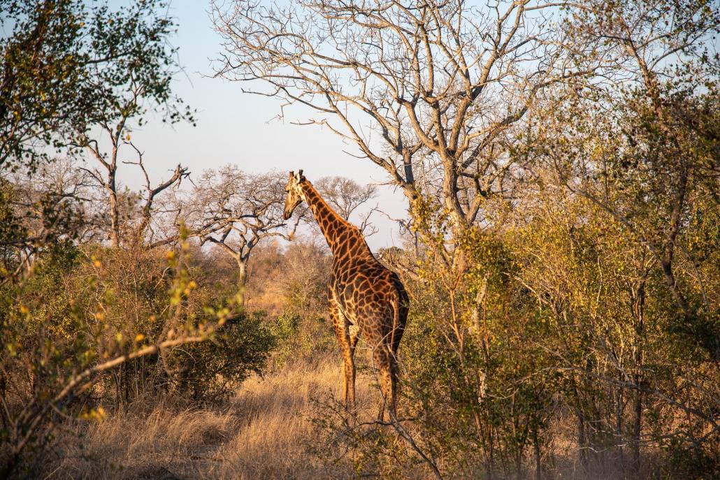 manyeleti giraffe