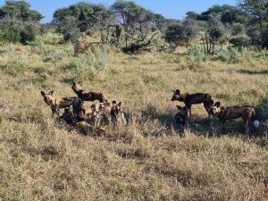 Wild Dogs Botswana
